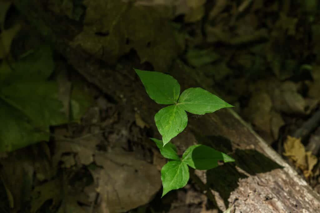 Trillium plant